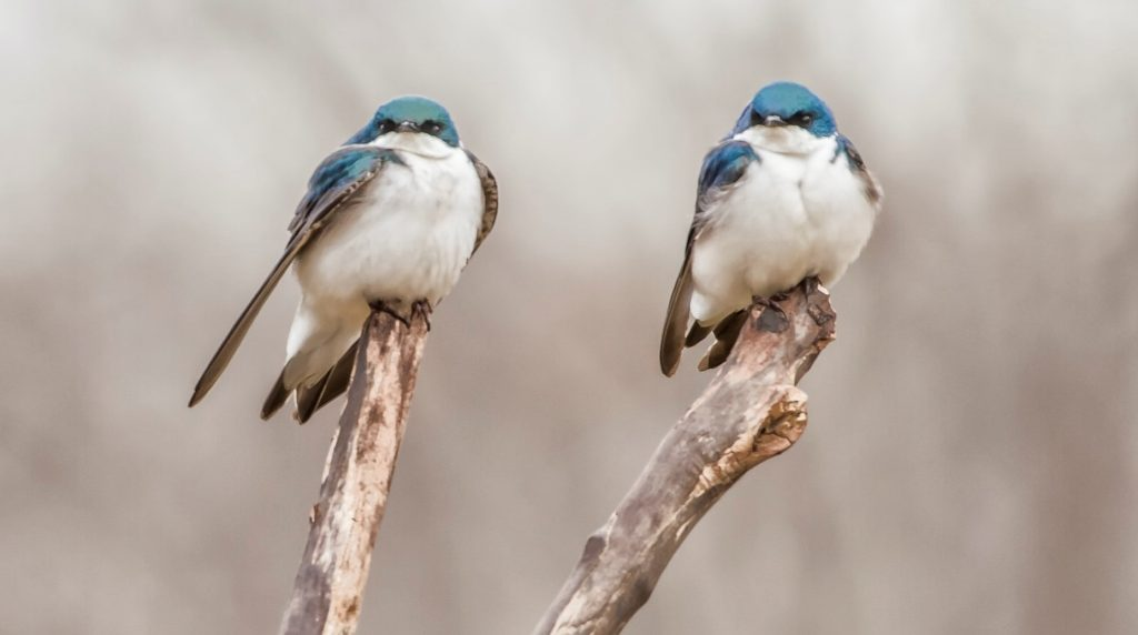 Close up of two blue and white birds sitting on two different branches